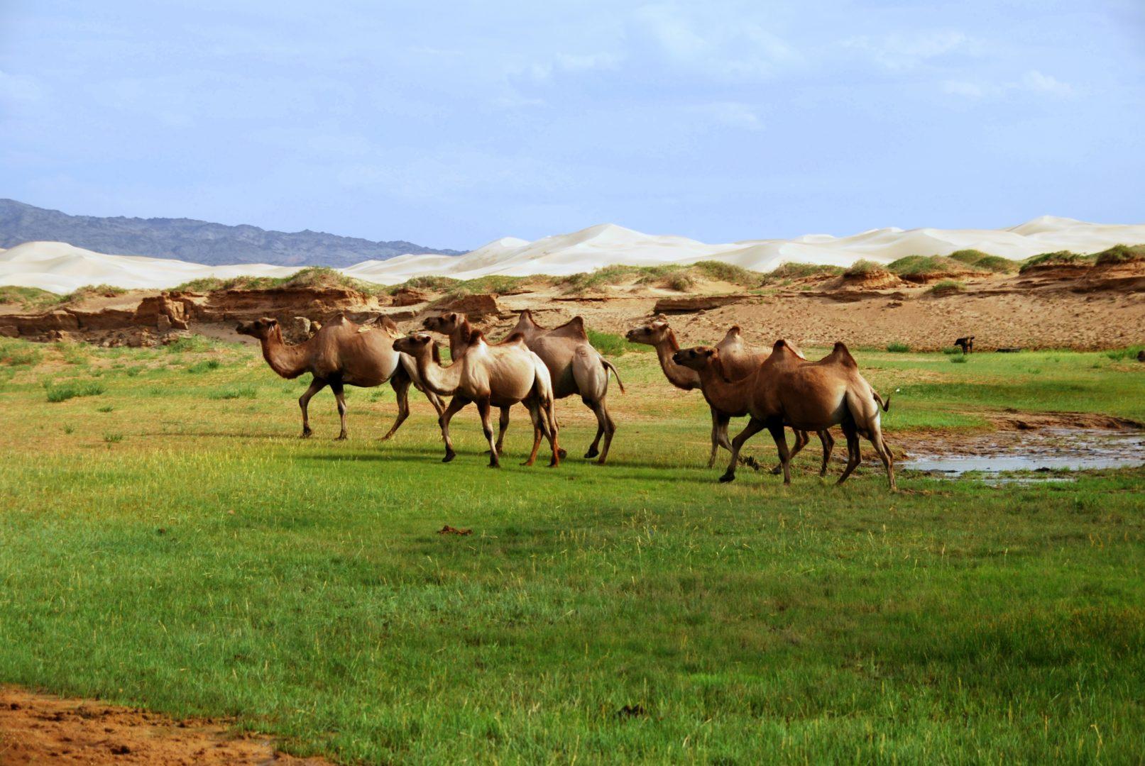 Zentralasiatische Kamele