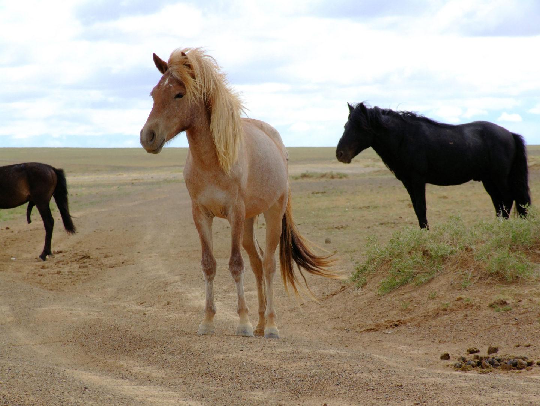 Nachfahren der Przewalski-Pferde