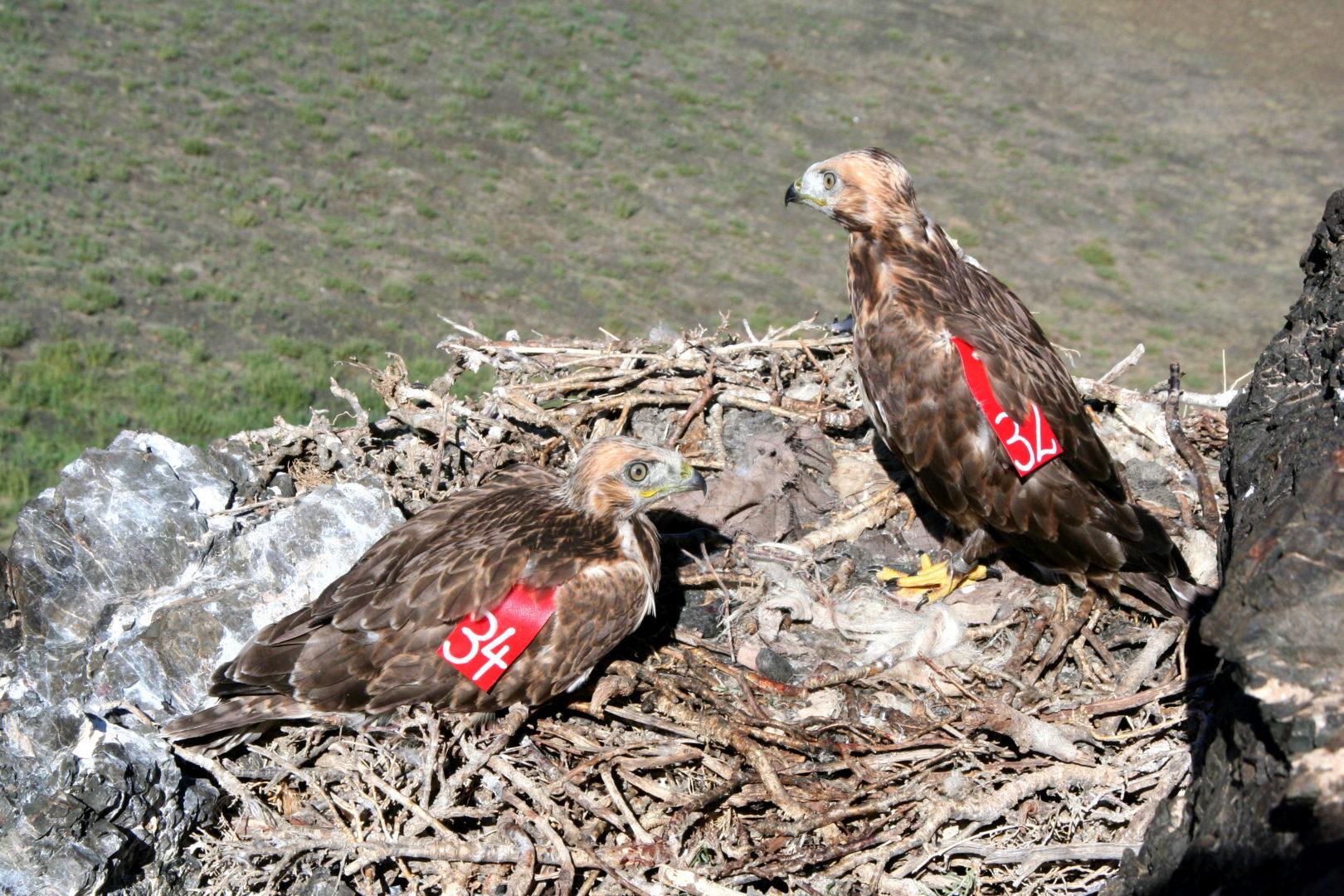 Geierkücken im Nest