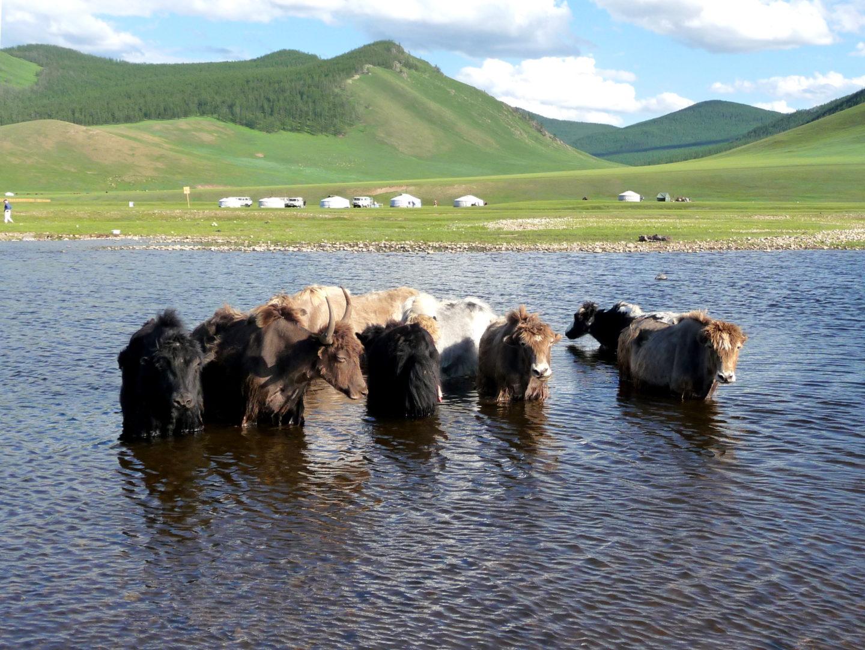 Yaks kühlen sich im Wasser ab.